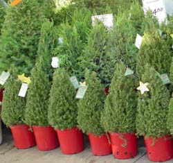 live christmas trees - How Long Does A Christmas Tree Take To Grow