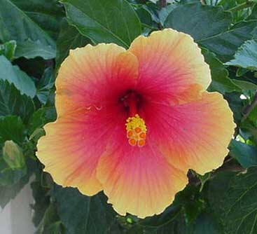 hibiscus, <i>hibiscus sinensis</i>, Beautiful flower