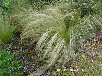 Mexican feather grass nasella stipa tenuissima for Short growing ornamental grasses