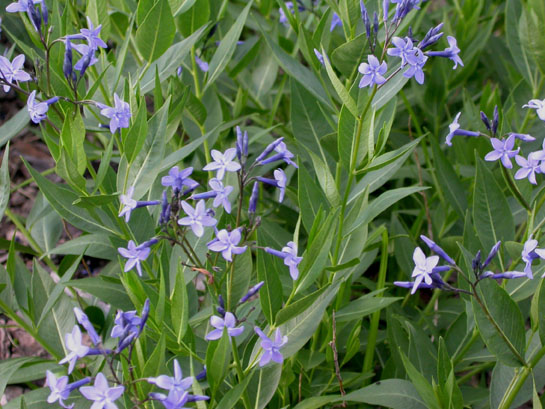 Blue Ice Has Long Lasting Star Shaped Flowers
