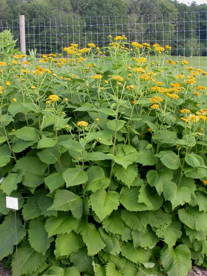 Inulamagnificaml large coarse leaves are a common trait and provide an excellent screen yellow flowers mightylinksfo