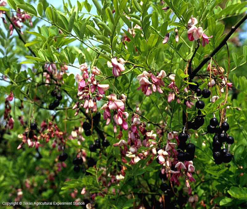 Texas native plants database mightylinksfo