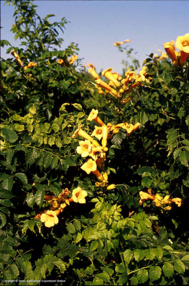 Texas native plants database flower yellow form trumpet vine mightylinksfo