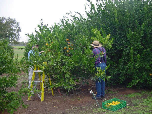 two old fellows harvesting citrus from on