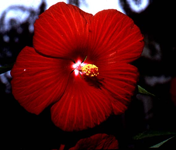 Maple Leaf Hibiscus: Red River Rose Mallow