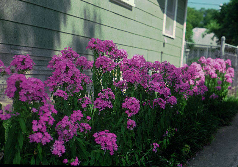 Image result for tall garden phlox