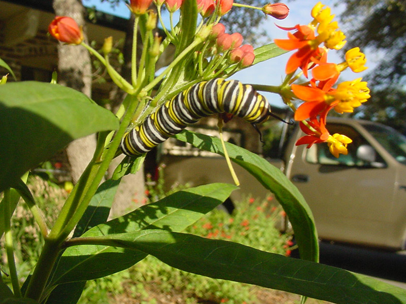 milkweed monarch