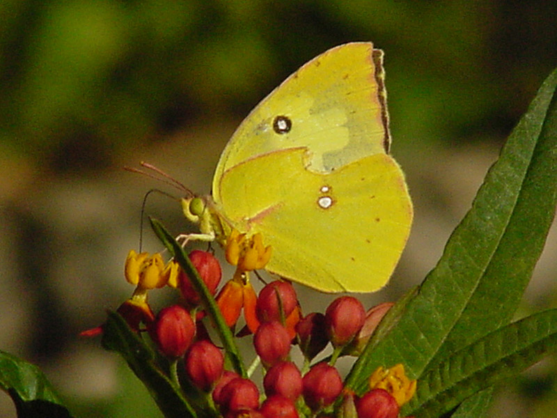 http://aggie-horticulture.tamu.edu/plantanswers/butterflies/butterfly-gallery/images/Milkweed-Yellow1.jpg