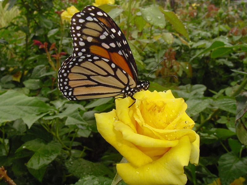 Yellow Rose Nacogdoches - Monarch Butterfly