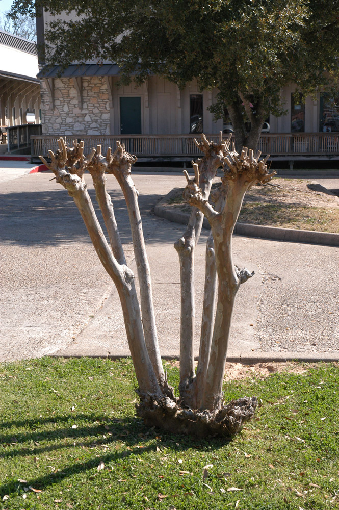 what time of year do you cut back crepe myrtles