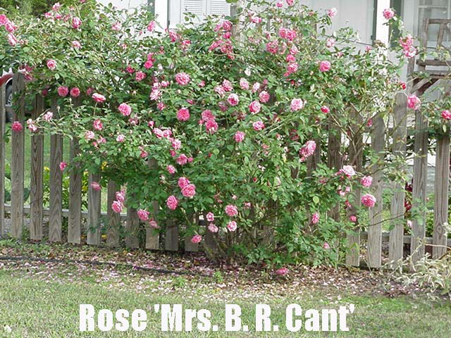 Rose Propagation By Dr William C Welch