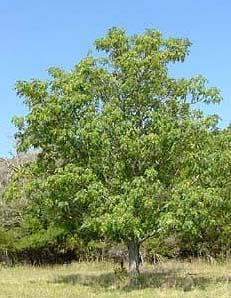 Trees Recommended For Texas By Dr William C Welch
