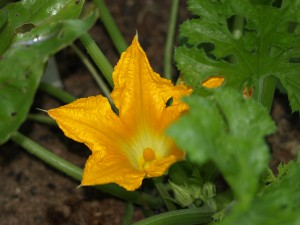 golden zucchini bloom