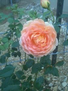 Lady of Shallot Rose