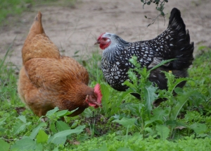 Chickens in Your Backyard @ Texas A&M AgriLife Extension Service | Austin | Texas | United States