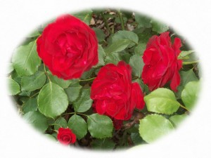 Annies Red Rose