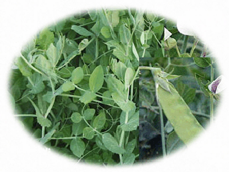 Austrian winter pea in eastern parts of texas on 75 000 acres 75