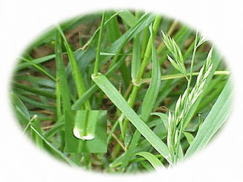Forage Grasses | Vegetable Resources