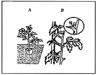 figure IV-5 shows a stake and tyes to grow tomatoes upright with pruning