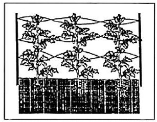 figure IV-6 shows strings woven through the tomato plants as a trellis