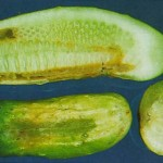 image of angular leaf spot damage