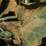 image of Atrazine Pesticide Injury