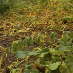 image of bacterial wilt damage