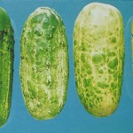 image of cucumber mosaic