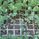 damping off damage among seedlings