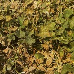 image of downy mildew