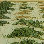 image of fusarium wilt damage