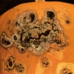 image of fusarium root and stem rot