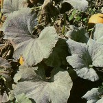 image of powdery mildew