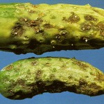 image of scab on fruit