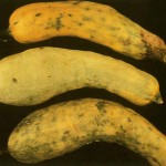 image of squash leaf curl fruit damage