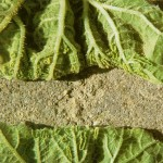 image of squash leaf curl damage