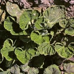 image of squash leaf curl