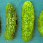 image of watermelon mosaic fruit damage