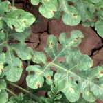 Downy Mildew: yellowish to brown spots appear on upper leaf surface