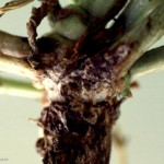 Southern Blight infection of the crown