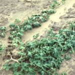 scattered wilting caused by trifluralin (herbicide) contact