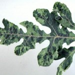 Leaf Mosaic pattern; areas of light and dark coloration