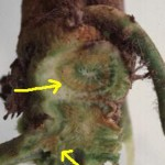 Fusarium Wilt browning the xylem of the crown and runners