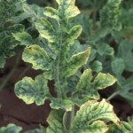 Squash Leaf Curl Virus symptoms are crumpled leaves with yellowed, mottled areas