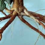 Root lesions caused by other soil-borne fungi
