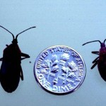 Squash bugs and a dime, roughly the same size