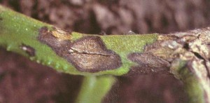 alternaria canker stem damage