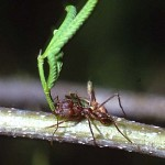 leafcutting ant