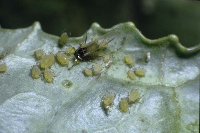 Melon Aphid   Vegetable Resources Insecticide For Plants