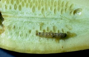 pickle worm